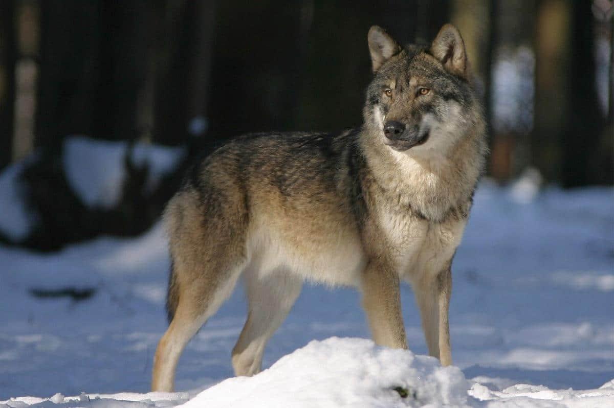 wolf-snow